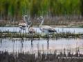 fenicotteri al lago trasimeno gentile concessione L'Alzavola WhatsApp Image 2017-09-28 at 12.59.41 (1)