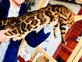 gatti bengala perugia campioni cannes (2)