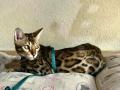 gatti bengala perugia campioni cannes 1