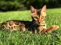 gatti bengala perugia campioni cannes (1)