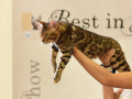 gatti bengala perugia campioni cannes 5