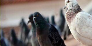 Invasione di piccioni, igiene a rischio a Terni