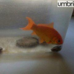 Il pesciolino rosso che insegna l'integrazione