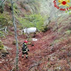Cascia, notte insonne per salvare tre mucche