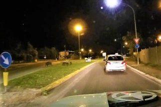 Video – Terni, cinghiali al 'pascolo' fra le auto