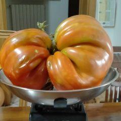 C. Castello, raccolto maxi pomodoro da 1,2 chilogrammi